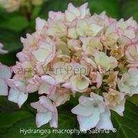 Hydrangea macrophylla SABRINA ® - Hortensia