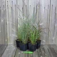Miscanthus - Graminée - Lot de 5 Plants - Variétés au Choix