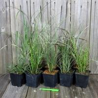 Miscanthus - Graminée - Lot de 10 Plants - Variétés au choix