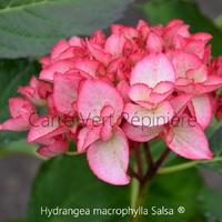 Hydrangea macrophylla SALSA ® - Hortensia