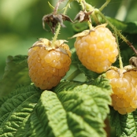 Framboisier GOLDEN EVEREST - Framboise