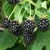 Mûrier sans épine BLACK SATIN - Mûre sans épine