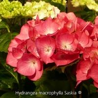 Hydrangea macrophylla SASKIA ® - Hortensia