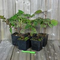 Arbustes à PETITS FRUITS - Lot de 5 Plants - Variétés au Choix