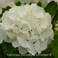 Hydrangea macrophylla SCHNEEBALL ® - Hortensia