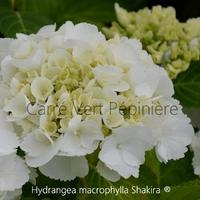 Hydrangea macrophylla SHAKIRA ® - Hortensia