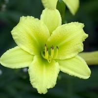 Hemerocallis GREEN FLUTTER - Hémérocalle