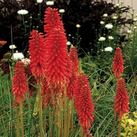 Kniphofia RED HOT POPSICLE - Tritoma