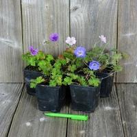 LOT de 5 Géraniums Vivaces - Variétés au Choix