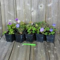 LOT de 10 Géraniums Vivaces - Variétés au Choix