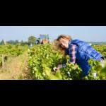 31620-650x330-vigneronne