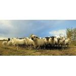 gardeur de chèvres 1