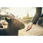 gardeur de moutons chèvres