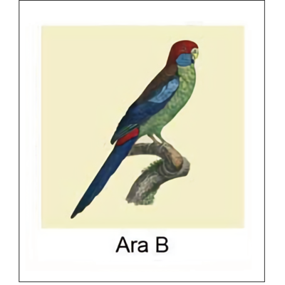 Gravure ARA B (choisir votre forme d'abat-jour et fond de couleur)