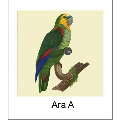 Gravure ARA A (choisir votre forme d'abat-jour et fond de couleur)