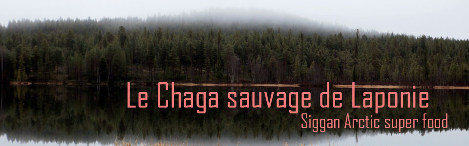 Chaga sauvage de Laponie