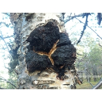 Chaga Siggan Native Delicatessen Web