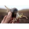 Maca Noire biologique du Pérou 400g