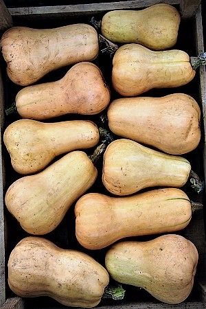 courge butternut2