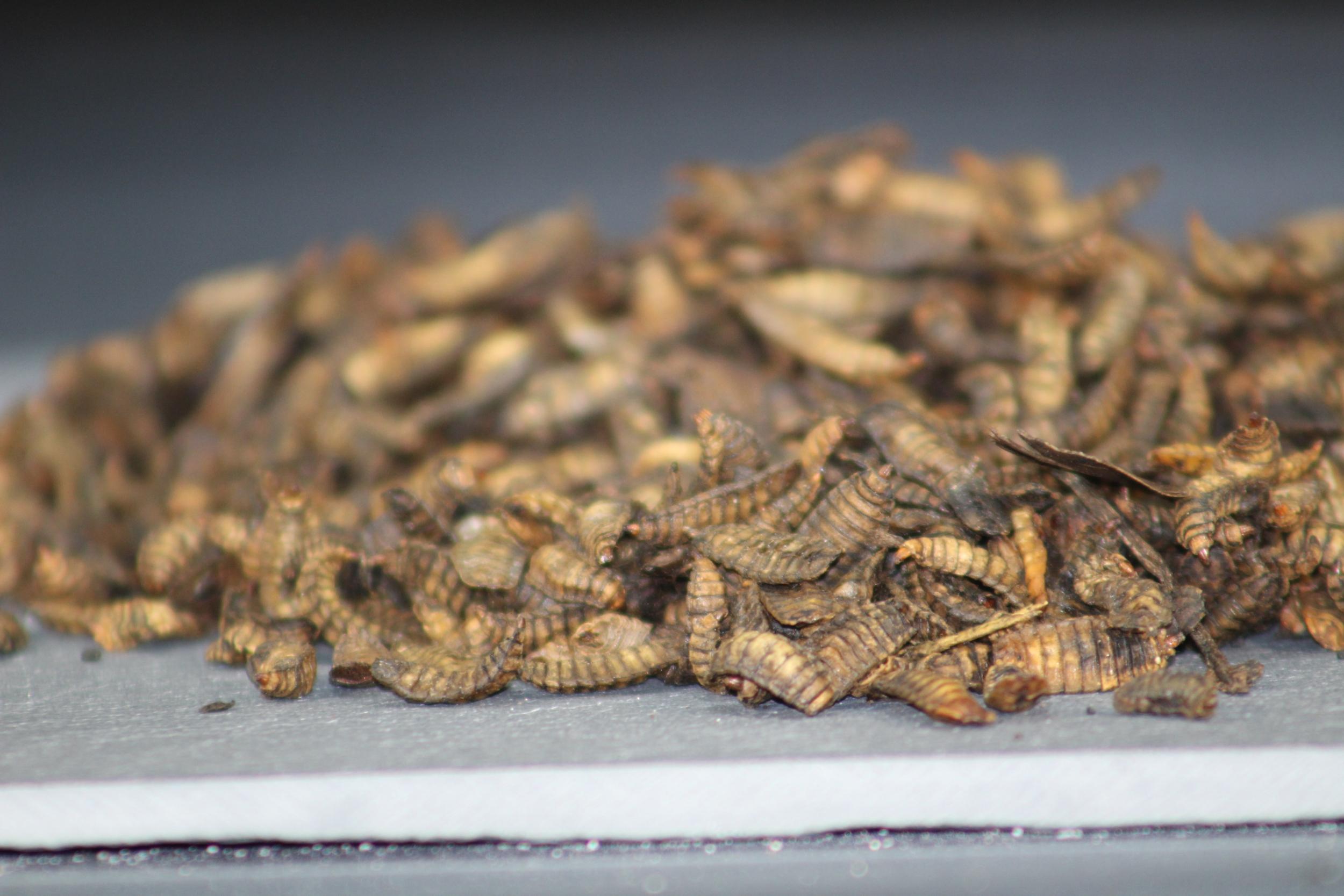 Larves de mouche soldat