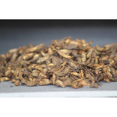 Larves de mouche soldat 1.5kg