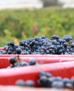 vins-pierre-richard-comment-devenir-vigneron-raisin www.luxfood-shop.fr