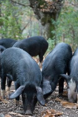 Cochon Corse dans le pâturage www.luxfood-shop.fr
