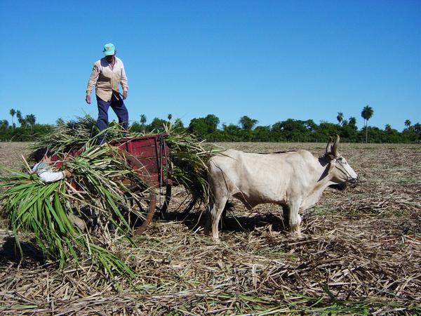 recolte de sucre de canne du paraguay