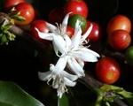 fruit et fleur du caféier
