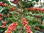 fruits du caféier