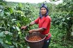 la récolte du café