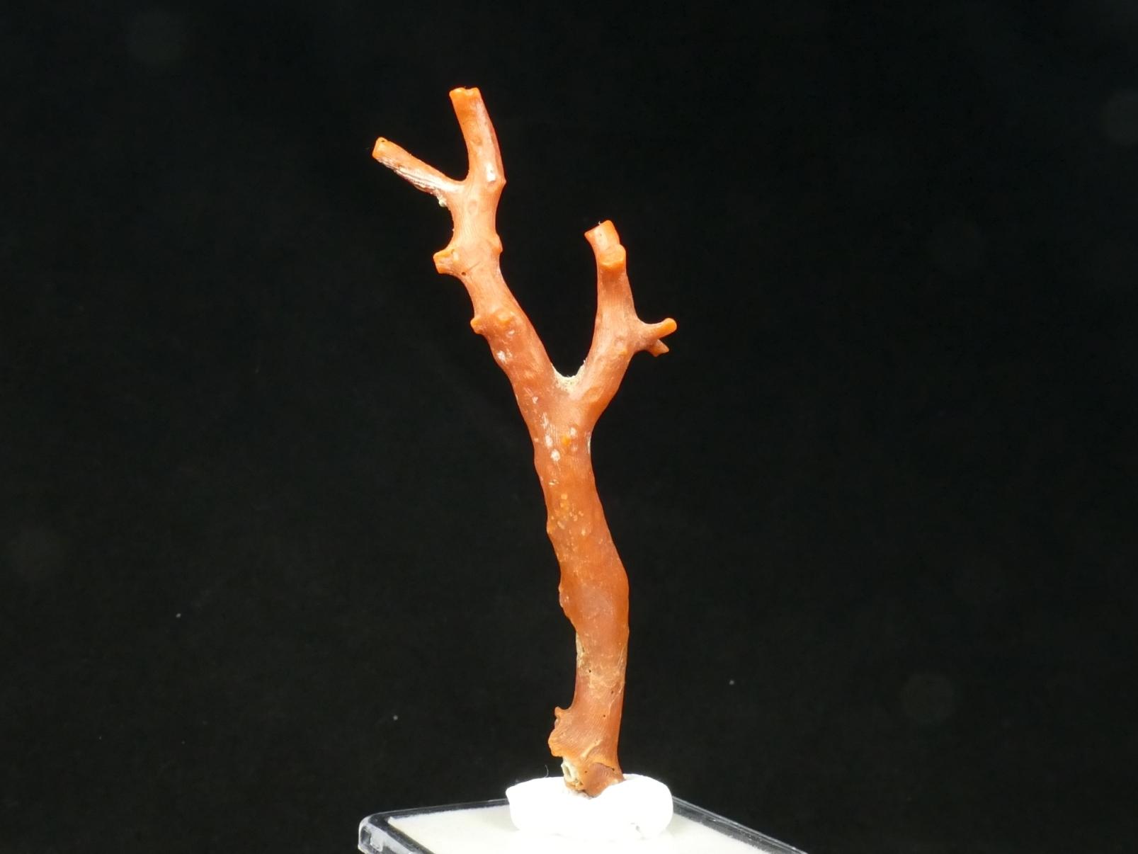 85.5mm Spécimen de Corail rouge brut naturel du Maroc 6.3g (#PB521)