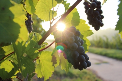 grapes_vine_sunlight_vineyard_wine_grapevine_harvest_agriculture-1062577