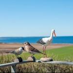 cigogne-blanche-WG469-wildlife-garden-(3)