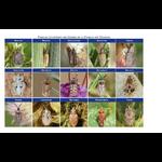 CNB-cle-determination-punaises-tingidae-tableau
