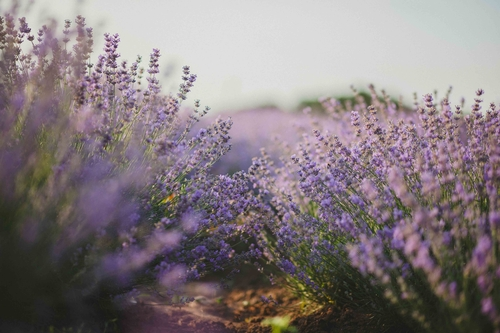 aromatic-blooming-blooming-lavender-1201540